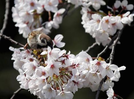 Ciliegi in fiore - Giappone